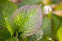 Hydrangea leaf 11015183362| 写真素材・ストックフォト・画像・イラスト素材|アマナイメージズ