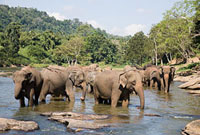 Herd of elephants in watering hole