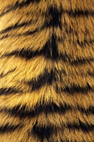 Tigers fur