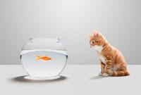 Kitten looking at goldfish in bowl