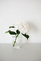 Hydrangea in a vase 11015200715| 写真素材・ストックフォト・画像・イラスト素材|アマナイメージズ