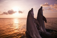 Bottlenose dolphins emerging from sea at sunset