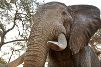 African elephant, close up, low angle view