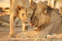 Two male lions in Zimbabwe 11015205879| 写真素材・ストックフォト・画像・イラスト素材|アマナイメージズ