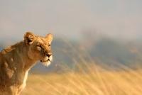 Lioness on savannah 11015205884| 写真素材・ストックフォト・画像・イラスト素材|アマナイメージズ