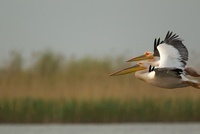 White pelican flying in Danube Delta, Romania