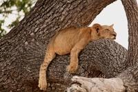 Lion, Tanzania 11015205987| 写真素材・ストックフォト・画像・イラスト素材|アマナイメージズ