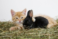 Ginger kitten and rabbit 11015206287| 写真素材・ストックフォト・画像・イラスト素材|アマナイメージズ