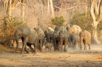 Herd of African Elephants on the move, Mana Pools, Zimbabwe