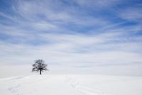 Oak tree on snowy hill in winter 11015215733| 写真素材・ストックフォト・画像・イラスト素材|アマナイメージズ
