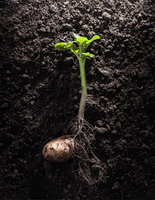 Potato with roots and leaves in dirt