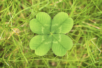 Close up of four leaf clover