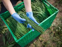 Worker holding freshly cut chives