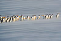 Gentoo Penguins (Pygoscelis papua papua) marching in line, F