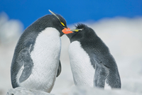 Two Rockhopper penguins (Eudyptes chrysocome chrysocome) in