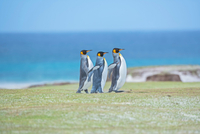 Three King penguins (Aptenodytes patagonicus) walking togeth