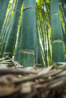 Bamboo, surface view