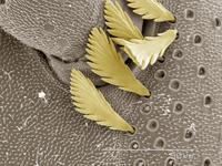 Coloured SEM of millipede
