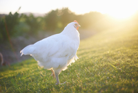 White hen in sunlight