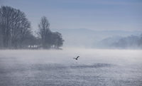 Silhouette of swan flying over Lake Maggiore, Stresa, Piemonte, Italy
