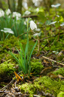 Close up of snowdrops and moss