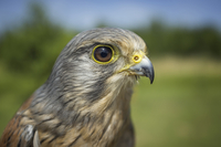Close up image of Kestrel