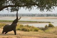 Bull african elephant (loxodonta africana) reaching up to tree, Mana Pools National Park, Zimbabwe