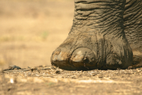 Close up of african elephant (loxodonta africana) foot, Mana Pools National Park, Zimbabwe 11015247276| 写真素材・ストックフォト・画像・イラスト素材|アマナイメージズ