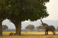 Bull african elephant (Loxodonta africana) feeding on sausage tree leaves, having driven pride of lions behind tree, Mana Pools