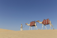 Bedouin walking with two camels in desert, Dubai, United Arab Emirates