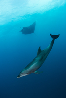 Wild dolphin and giant manta swimming, San Benedicto, Revillagigedo, Mexico
