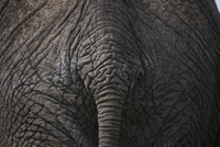 Close up of african elephants rump and tail