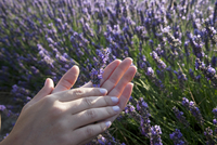 Close up of womans hands holding lavender flowers, Provence, France