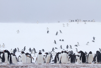 Colony of Gentoo penguins (Pygoscelis papua) on Half Moon Island, Antarctica