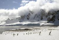 Colony of Gentoo penguins (Pygoscelis papua) on Cuverville Island, Antarctica 11015249979| 写真素材・ストックフォト・画像・イラスト素材|アマナイメージズ