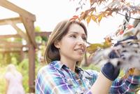 Mid adult woman tending to plants 11015251119| 写真素材・ストックフォト・画像・イラスト素材|アマナイメージズ