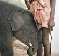 Baby Indian Elephant, (3 months old) with carer, a mahout, Kerala, India