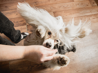 Dog jumping up to reach treat in owners hand, overhead view