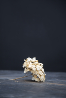 Still life of dried hydrangea flower 11015254650| 写真素材・ストックフォト・画像・イラスト素材|アマナイメージズ
