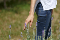 Low section of woman touching lavender plant, cropped