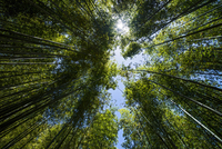 Looking up through bamboo forest, low angle view 11015255973| 写真素材・ストックフォト・画像・イラスト素材|アマナイメージズ