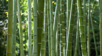 Close up of bamboo forest, full frame