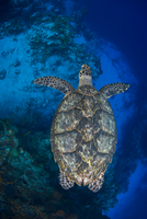 Overhead view of hawksbill turtle (Eretmochelys imbricata) swimming over the southern wall of Cozumel Island, Quintana Roo, Mexi