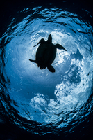 Silhouetted low angle view of hawksbill turtle (Eretmochelys imbricata), Cozumel, Quintana Roo, Mexico