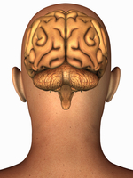 Anatomical illustration of the human brain in posterior view superimposed on a head