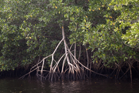 Swamp of red mangrove, Rhizophora mangle, in the Collier-Seminole Park of southern Florida, USA