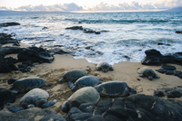 Group of green sea turtles on beach, Maui, Hawaii