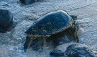 Green sea turtle moving up beach, Maui, Hawaii