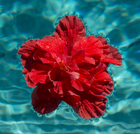 Red hibiscus flower floating in swimming pool