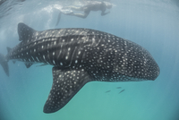 High angle side view of Whale Shark (Rhincodon Typus) Contoy Island, Quintana Roo, Mexico